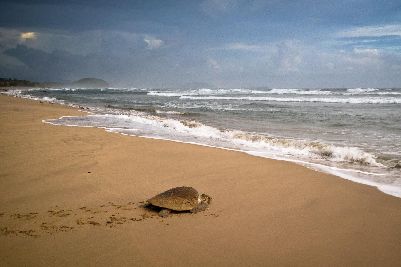 Troncones beach sea turtle